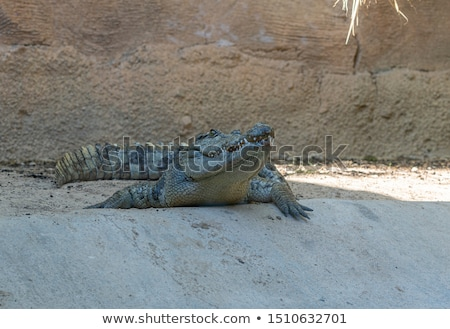 crocodile with open mouth resting stock photo © witthaya