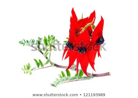 Australian wild flower native herb Stock photo © byjenjen