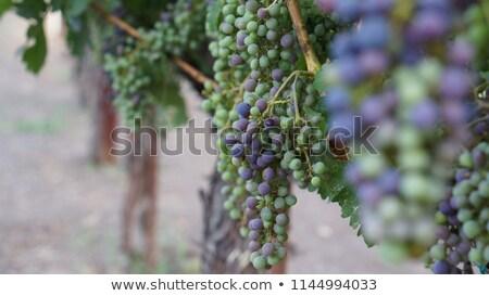 green grapes in vineyard hanging from vine Stock photo © Zhukow