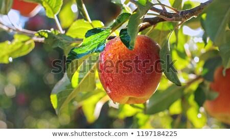 Czerwony mokro jabłko odizolowany biały owoców Zdjęcia stock © Leonardi
