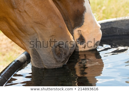 Bay Arabian horse drinking from a water trough Stock photo © meinzahn