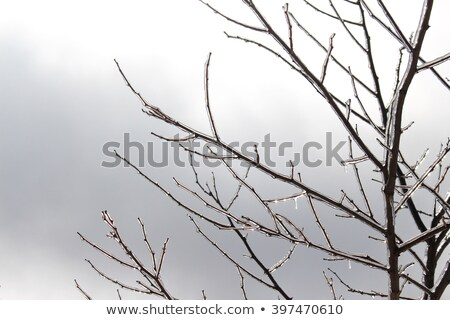 Ice covered branches after an ice storm. Stock photo © gabes1976