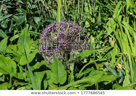 lila · óriás · hagyma · virág - stock fotó © meinzahn