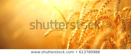 ears of ripe wheat on a background a sunset Stock photo © mycola
