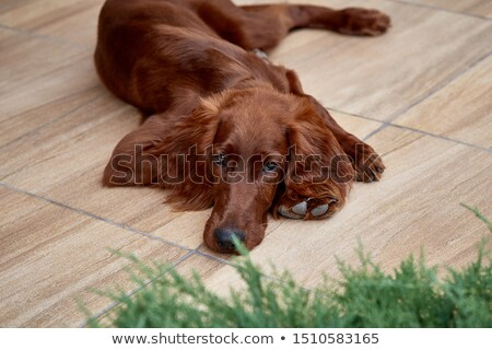 irish setter on a green grass lawn stock photo © capturelight