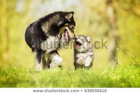 Köpek yavrusu köpek el yalıtılmış beyaz arka plan Stok fotoğraf © Witthaya