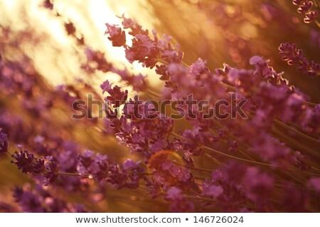 kokulu · bahçe · vektör · küçük - stok fotoğraf © littlelion