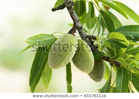 Ağaç badem yaprak Stok fotoğraf © Tagore75