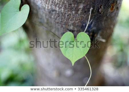 group of heart shaped leaves of lime tree stock photo © mps197