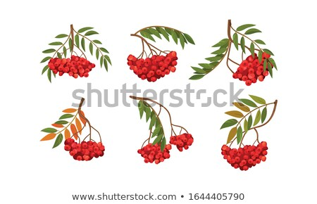 Autumn colored rowan leaves and berries Stock photo © Mps197
