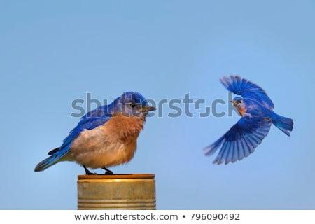 azul · aves · cantando · sonrisa · naturaleza - foto stock © polygraphus