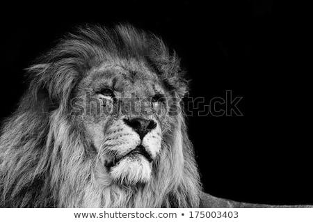 Сток-фото: лев · портрет · царя · опасный · животного · Мир