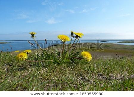 Primeiro primavera flores amarelas flor planta prado Foto stock © pixelman