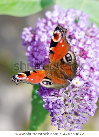 Paon papillon Bush fleurs fleur nature Photo stock © manfredxy