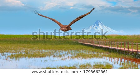 Wild Hawk Flying Over Forest, Color Image Stock photo © Backyard-Photography