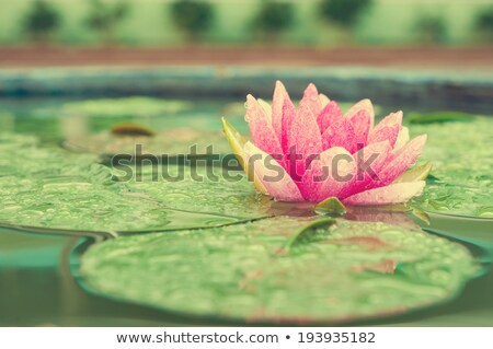 Pink Lotus in vintage style Stock photo © brebca