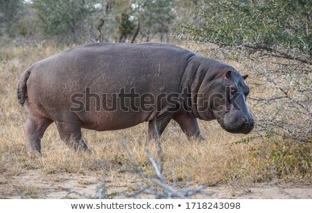 A Hippo walking into the water in the Kruger. Stock photo © simoneeman