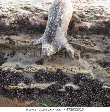 California Harbor Seal (Phoca vitulina) hangs onto a rock. WilderRanch State Park, California, USA Stock photo © yhelfman