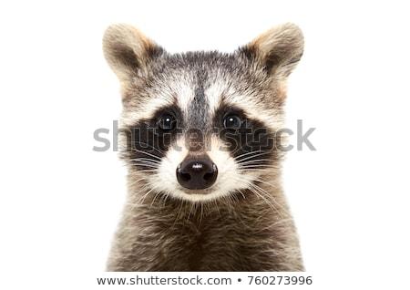 Cute wasbeer witte illustratie gelukkig achtergrond Stockfoto © bluering
