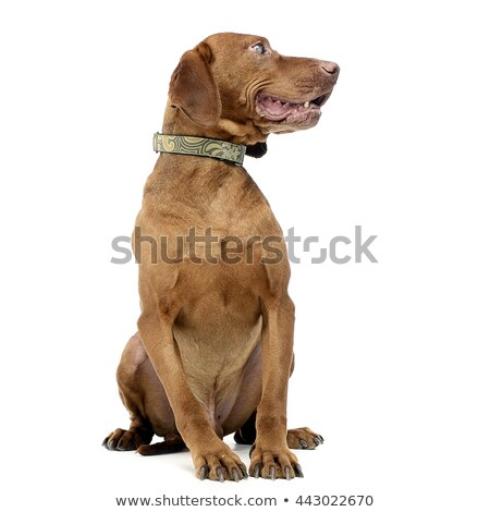 Old blind hungarian vizsla in a white photo studio Stock photo © vauvau