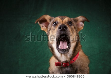 mixed breed brown funny dog in a dark studio stock photo © vauvau
