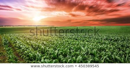 Corn plantation in sunset Stock photo © stevanovicigor
