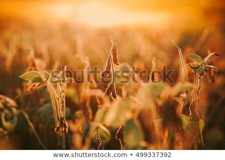 大豆 フィールド 日没 選択フォーカス 栽培 オーガニック ストックフォト © stevanovicigor