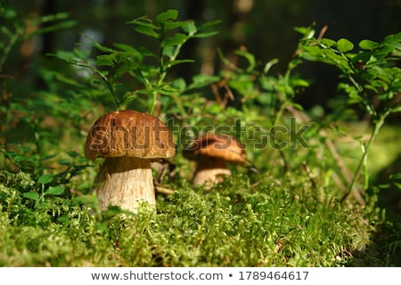 two small ceps in moss stock photo © romvo