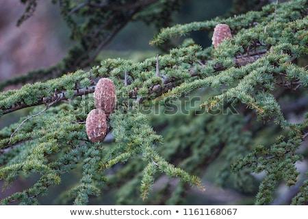 dar · sedir · ağaçlar · dağlar · Kıbrıs · büyüyen - stok fotoğraf © Mps197
