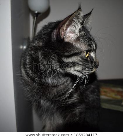 Vista laterale cute grigio cat giallo occhi Foto d'archivio © feedough