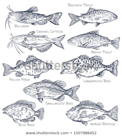 Brook Trout Fish Fauna Set Vector Illustration Stock photo © robuart
