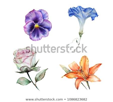 Manhã glória flor folha verde ilustração fundo Foto stock © colematt