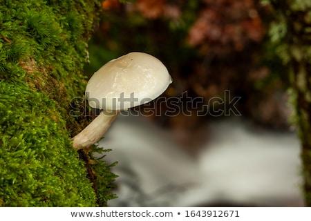 porcelain fungus or oudemansiella mucida in autumn forest stock photo © lianem