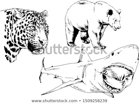 Hand drawn ink illustration. Vector black and white engrave isolated bear Stock photo © bonnie_cocos
