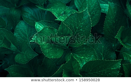 Stock photo: Dew drops on a dark green leaf