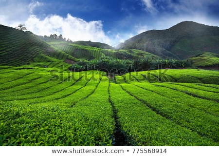 Stok fotoğraf: Amazing Landscape View Of Tea Plantation In Sunset Sunrise Time Nature Background With Blue Sky An
