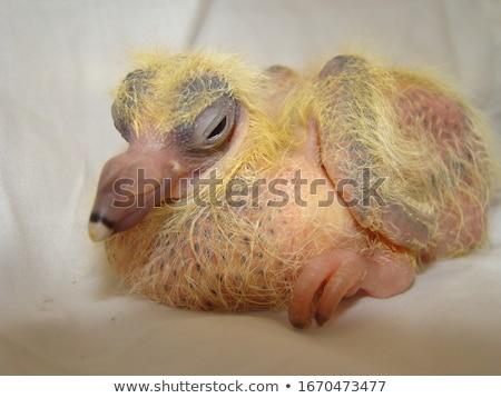 小さな · グレー · レース · 鳩 · 白 · 立って - ストックフォト © CatchyImages