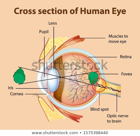 diagram showing cross section of human eye stock photo © bluering