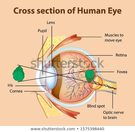 Diagram mutat keresztmetszet emberi szem illusztráció Stock fotó © bluering