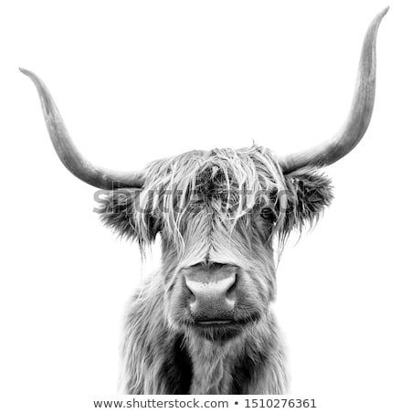 Foto stock: Chifre · gado · turva · touro · macro