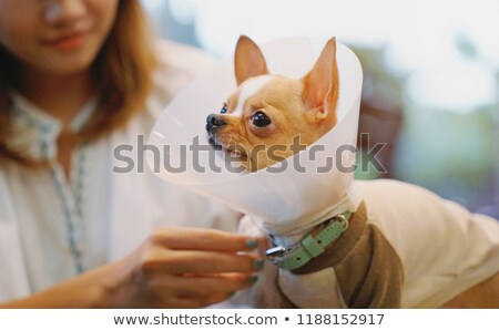 Loving Girl Taking Care Of Her Pet Chihuahua Stock photo © stuartmiles