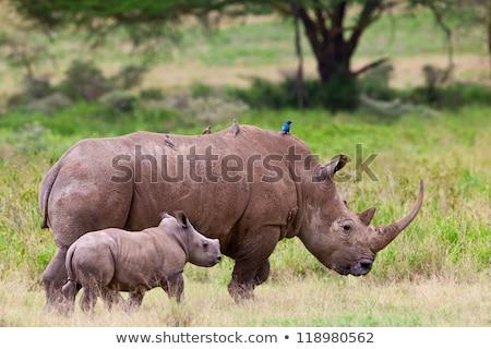 White rhinoceros (Ceratotherium simum) Stock photo © ajlber