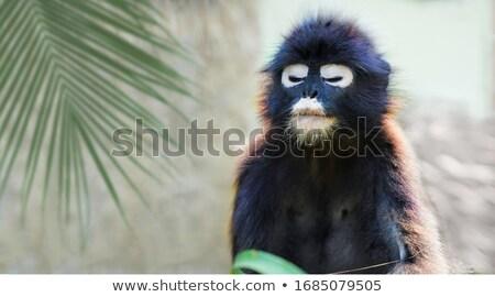 Macaco óculos sessão stonewall templo roubado Foto stock © tuulijumala
