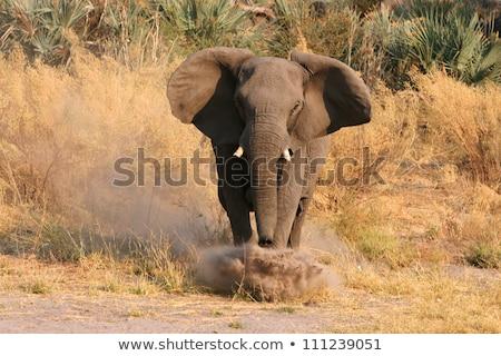 single elephant charges stock photo © timwege
