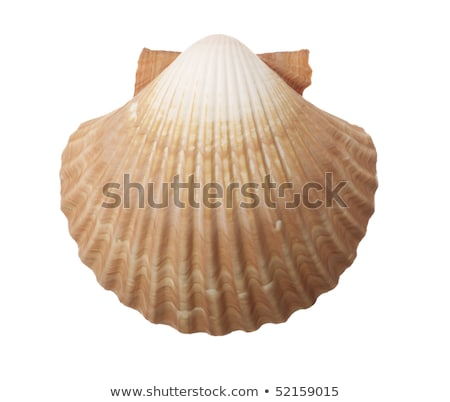 Tan Radial Seashell Isolated on White Background Stock photo © shutswis
