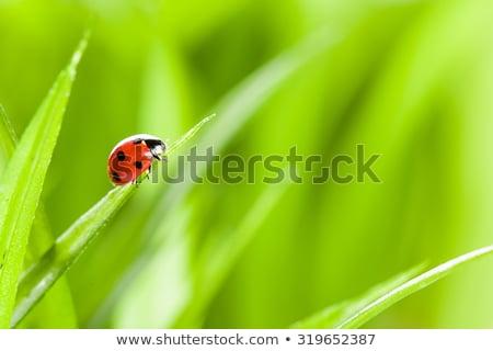 Mariquita hierba verde blanco grupo error ala Foto stock © Kesu