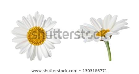 пыльца ромашка макроса цветок текстуры фон Сток-фото © badmanproduction