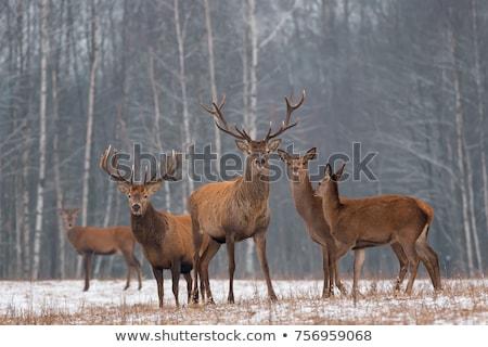 群れ 鹿 一緒に 草 フィールド ファーム ストックフォト © rghenry