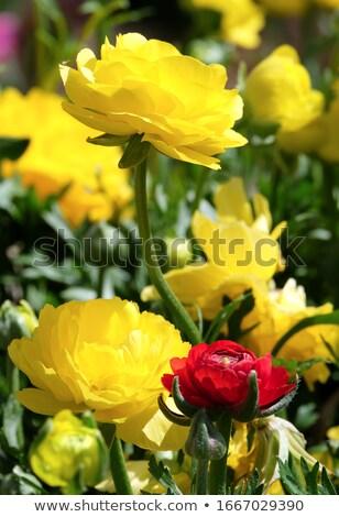 Geel bloem geïsoleerd bloeien tuinieren Stockfoto © stocker