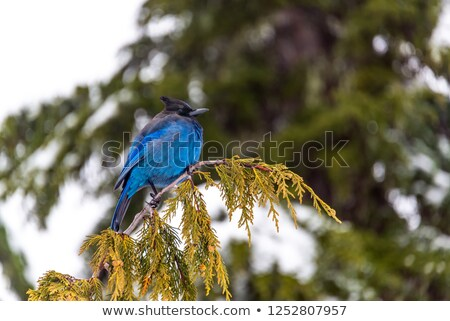 Stellar's Jay Mount Rainier  Stock photo © billperry
